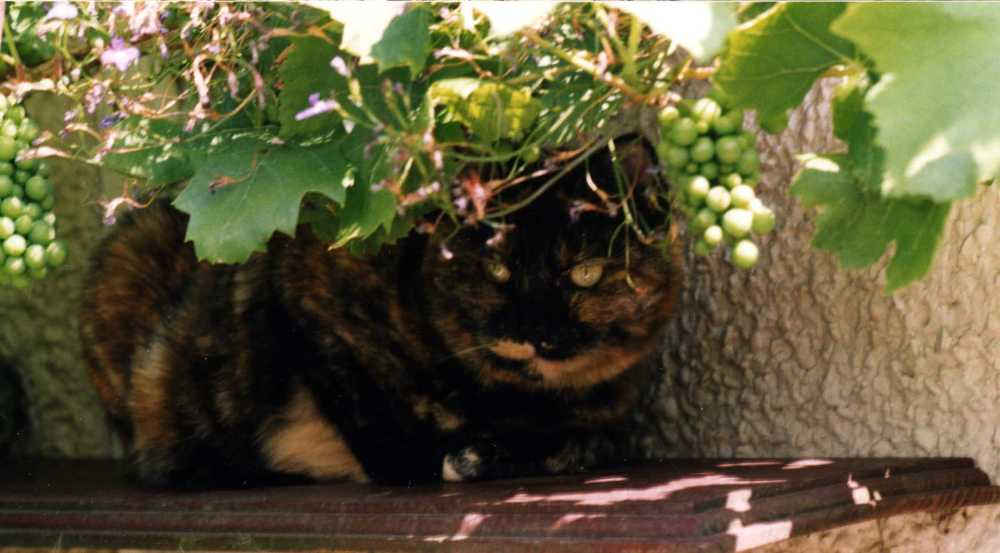 small tortoiseshell cat sitting on shelf under a grapevine